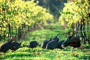 Guinea Fowl in vineyard Cape Grace